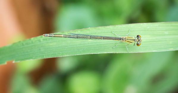 Paracercion melanotum female (ムスジイトトンボ )