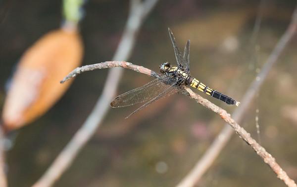 Orthetrum melania female (オオシオカラトンボ)