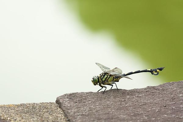 Sinictinogomphus clavatus male (ウチワヤンマ)