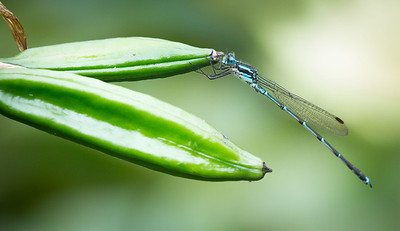 Blue Damselfly male (Austrolestes colensonis)