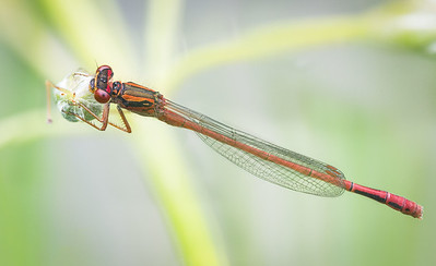 Xanthocnemis zealandica male - Common redcoat damselfly