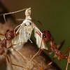 Oecophylla (Weaver Ant) Catch a moth in a Mango tree of Bayakh Villeage, Senegal