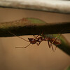 Oecophylla (Weaver Ant) Runs with a moth in a Mango tree of Bayakh Village, Senegal