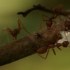 Oecophylla (Weaver Ant) Catch a moth in a Mango tree of Bayakh Villeage, Senegal