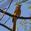 NO, its not a gray-headed, its a orange-breasted bush-shrike. Smaller and cuter.