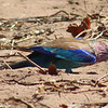 Lilac-breasted roller banging dung beetle.