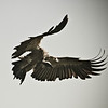 white-backed vulture, a little bit artsy.