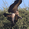 White-backed vulture coming in for a landing.