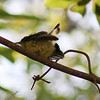 Fledgling yellow-bellied sunbird.