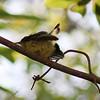 Fledgling yellow-bellied sunbird.