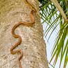 Rat Snake Climbing A Palm Tree
