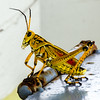 Southern Lubber Grasshopper