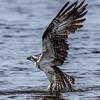 Osprey Launching