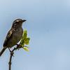 Florida Grasshopper Sparrow - Rare & Endangered