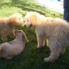 puppy play date ppatch 002