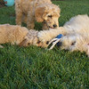 puppy play date ppatch 063