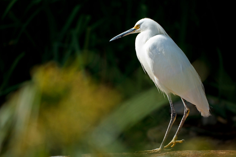 """Title: Egret<br /> 2rd Place in the """"Birds"""" competition of Inspire 2011: <a href=""""http://inspi.re/"""">http://inspi.re/</a>"""