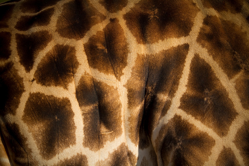 """Title: Giraffe Wallpaper<br /> 2nd Place in the """"Empire of Animals"""" community (Skin) competition of Inspire 2010:  <a href=""""http://inspi.re/"""">http://inspi.re/</a>"""