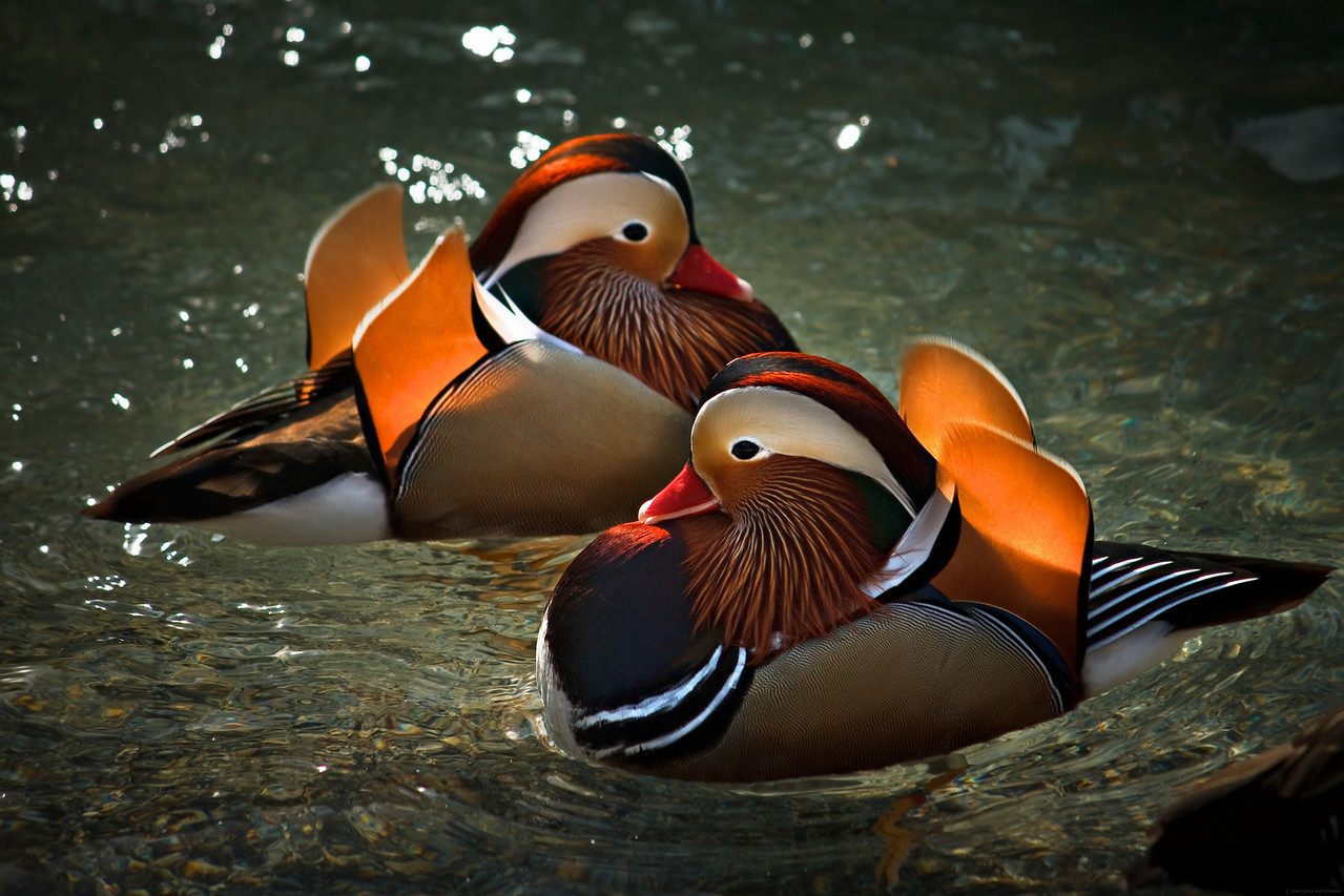 """Title: Mandarin Bookends<br /> 1st Place in the """"Empire of Animals"""" community (Natural Light competition of Inspire 2011: <a href=""""http://inspi.re/"""">http://inspi.re/</a>"""