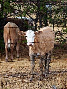 Muddy Calf