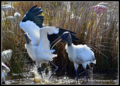 Wood Storks arguing over fishing rights.
