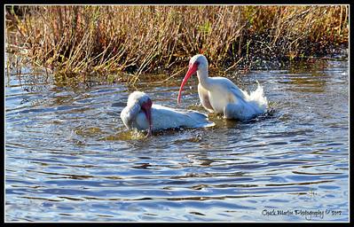 White Ibis - Bath Time