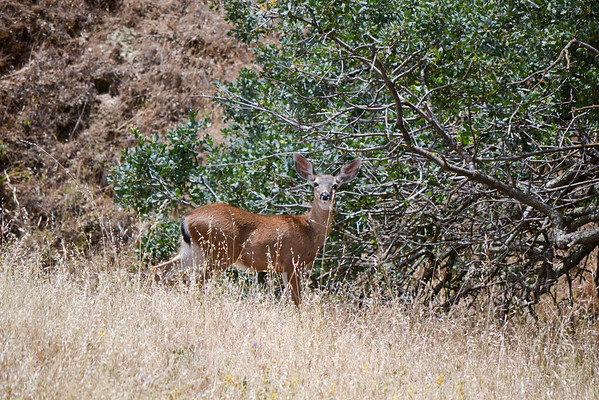 Curious look, no, I'm no a mountain lion predator.... go forage.<br /> (EBRPD)