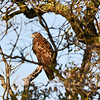 Golden Eagle (EBRPD-Del Valle)
