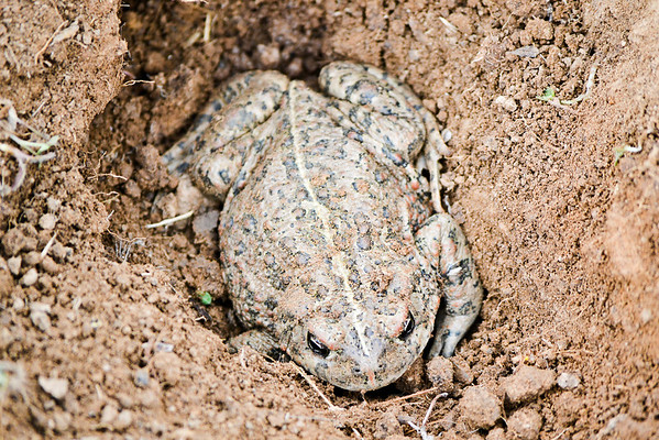 Jazz digs up a toad.<br /> (EBRPD-Del Valle)