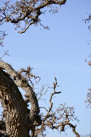 Hawk in Tree.
