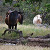 158 - Cows and Bulls grazing on the Sunol-Ohlone.   Sometimes, I hate hiking in the pastures with them.... they charge when they have calves....1500-2000 pounds of meet coming at you is not an encouraging site....   and one time three bulls stood under a tree, stomping the ground with their front feet, snorting.... lions and tigers and bears oh my!  It  leaves me feeling a bit like Dorothy in the forest :)   Where are the flying monkeys?<br /> (EBRPD)
