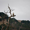 Hawk on a rainy day at Del Valle.<br /> (EBRPD)
