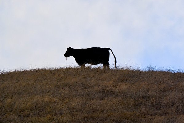 Frozen Milk, or steak.  She literally stopped chomping her grass.... her calf was about 100 feet from her and she kept her eye on Jazz and I as we walked by. (EBRPD-Del Valle)