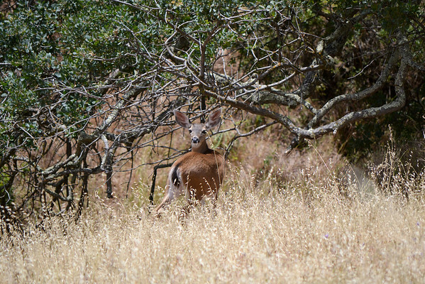 California coastal deer..... not hunted in this area, in these parks, are not as skittish as their cousin the White Tail deer of the East Coast..... even though Jazz looks like a coyote, this deer just stands and watches us pass.  Mem Day Weekend DV<br /> (EBRPD)