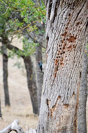 Woodpecker.<br /> (EBRPD-Del Valle)