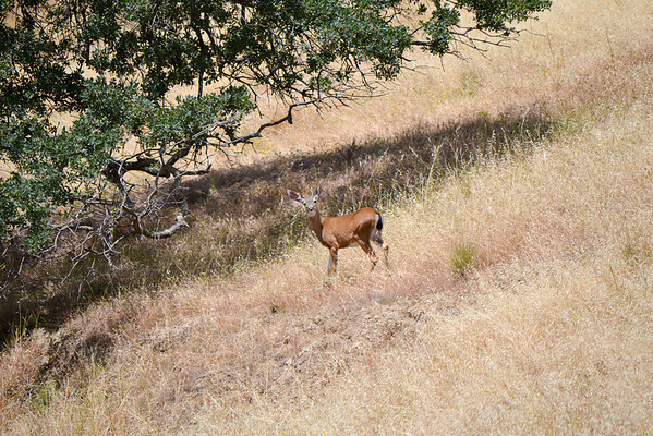 Yes, we're still walking, and she's still curious about us.  Mem Day Weekend DV<br /> (EBRPD-Del Valle)
