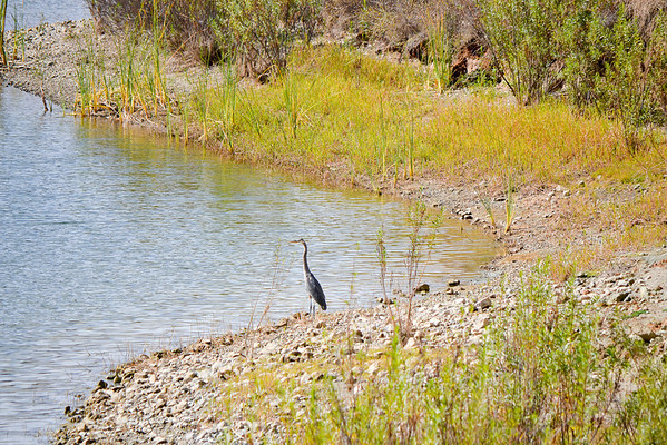 Blue Heron on Heron Bay (EBRPD-Del Valle)