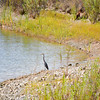Blue Heron on Heron Bay (EBRPD-Del Valle)