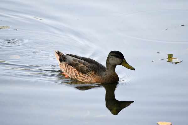 Shadow Cliffs duck.<br /> (EBRPD)