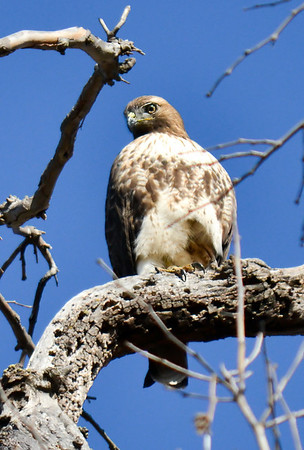 Red Tailed Hawk at Del Valle