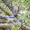Scrub Jay on RH creek trail...  Mem Day Weekend DV<br /> (EBRPD)