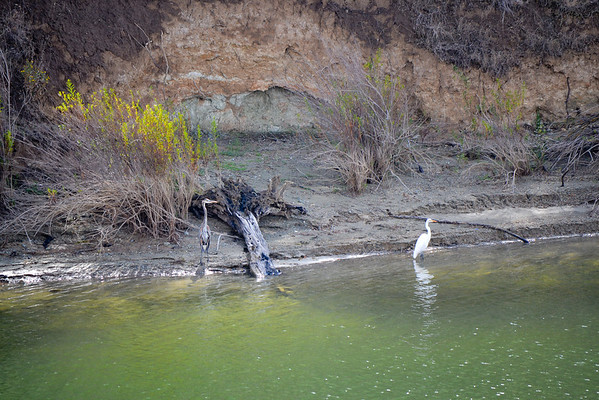Blue Heron and Egret on Heron Bay (Roxy Cove)<br /> (EBRPD-Del Valle)