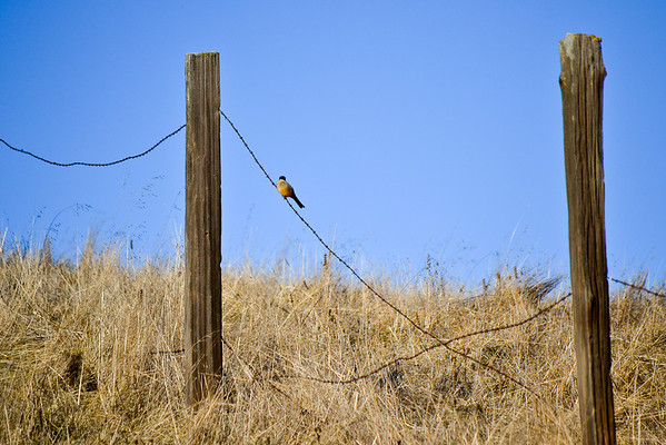 Bird on Fence.....I know, I'm stating the obvious.   <br /> (EBRPD-Del Valle)