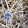 I think it's a fluff of bobcat fur stuck on a star thistle thingy. <br /> (EBRPD-Del Valle)