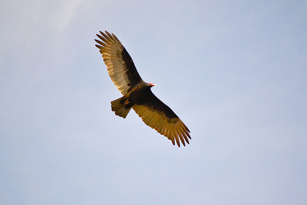 Vulture at Del Valle.