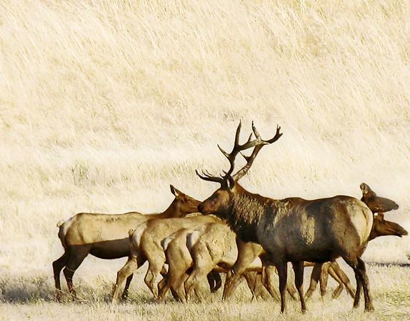 Elk on Corral Hollow Road, near LLNL Site 300.