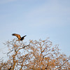 Golden Eagle Del Valle Christmas Day (EBRPD)