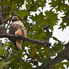 Hawk at Del Valle.<br /> (EBRPD)