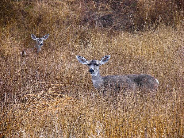 15 - OG - Deer on Del Valle Road