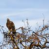 Golden Eagle Del Valle Christmas Day (EBRPD)